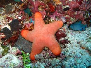 coral-estrella-mar